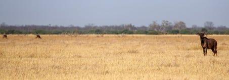 Tsessebe - Chobe N P Il Botswana, Africa immagini stock