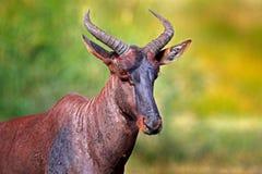 Tsessebe común, lunatus del Damaliscus, retrato del detalle del mamífero africano marrón grande en hábitat de la naturaleza Sassa imagenes de archivo