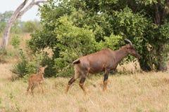 Tsessebe mom and calf. Tsessebe (Damaliscus lunatus) mom and calf, Chobe National Park, Botswana stock photography