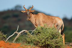 Tsessebe in natural habitat Stock Photography