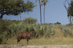 Tsessebe selvaggio, Botswana Fotografie Stock