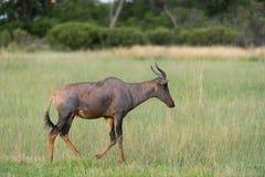Tsessebe w polu (antilope) Obraz Stock