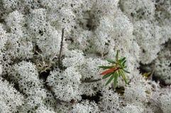 Tsetrariya青苔在有草的森林里 免版税图库摄影