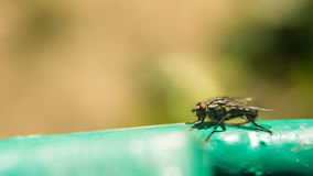 Tsetse komarnica na nawierzchniowym krańcowym powiekszaniu Tsetse komarnica powoduje sypialną chorobę która może być śmiertelna, Obraz Royalty Free