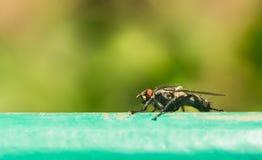 Tsetsefluga på yttersidaytterlighetförstoring Tsetseflugan orsakar att sova sjukdomen, som kan vara dödlig Arkivfoton