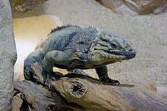 Tsiklura lizard iguana blue   scaly Royalty Free Stock Photo