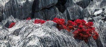 Tsingy 有红色叶子的植物在灰色石头 非常异常的照片 马达加斯加 免版税库存图片