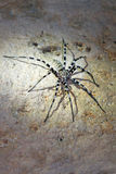 Tsingy cave spider Stock Photos