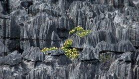 Tsingy de Bemaraha Paisaje típico con el árbol madagascar Fotos de archivo