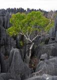Tsingy de Bemaraha Paisaje típico con el árbol madagascar Fotografía de archivo libre de regalías