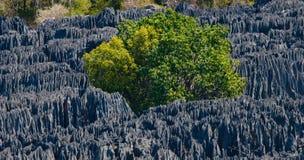 Tsingy de Bemaraha Paisaje típico con el árbol madagascar Fotos de archivo libres de regalías