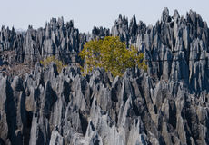 Tsingy de Bemaraha Typische Landschaft mit Baum madagaskar Lizenzfreie Stockbilder