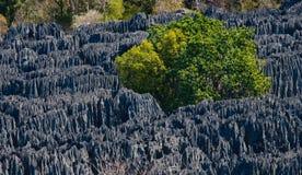 Tsingy de Bemaraha Typische Landschaft mit Baum madagaskar Lizenzfreie Stockfotos