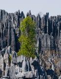 Tsingy de Bemaraha Typische Landschaft mit Baum madagaskar Stockfoto