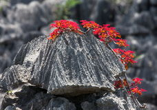 Tsingy. Plants with red leaves on the gray stones. Very unusual photo. Madagascar. An excellent illustration stock image