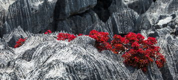Tsingy. Plants with red leaves on the gray stones. Very unusual photo. Madagascar. An excellent illustration Royalty Free Stock Image