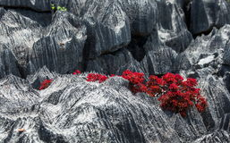 Tsingy. Plants with red leaves on the gray stones. Very unusual photo. Madagascar. Royalty Free Stock Image