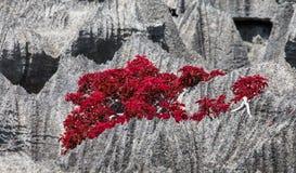Tsingy Växter med röda sidor på de gråa stenarna Mycket ovanligt foto madagascar Royaltyfri Fotografi