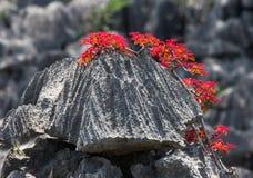 Tsingy Växter med röda sidor på de gråa stenarna Mycket ovanligt foto madagascar fotografering för bildbyråer
