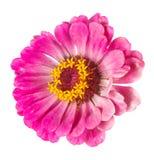 Tsinii blomma Fotografering för Bildbyråer