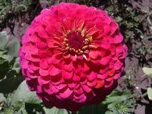 Tsinija vermelho Imagem de Stock Royalty Free