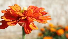 Tsiniya florece la naranja Fondo ligero Foto de archivo libre de regalías