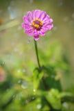 Tsiniya in the rain. One single flower in the garden in the rain Stock Photography