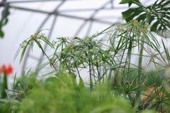 Tsiperus blomning Arkivbild
