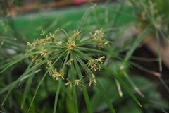Tsiperus blomning Arkivbilder