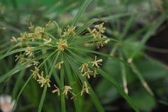 Tsiperus blomning Royaltyfri Foto