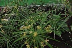 Tsiperus blomning Royaltyfria Foton