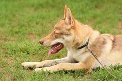 Tsjechisch wolfsportret Stock Afbeelding