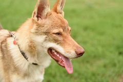 Tsjechisch wolfsportret Stock Foto's