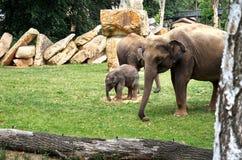 Tsjechische Republiek praag De Dierentuin van Praag Weinig babyolifant 12 juni, 2016 Stock Afbeelding