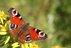 Tsjechische vlinder Stock Foto