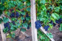 Tsjechische wijngaarden van Moravië royalty-vrije stock foto's