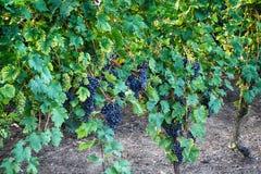 Tsjechische wijngaarden van Moravië stock afbeeldingen