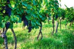Tsjechische wijngaarden van Moravië stock fotografie