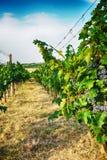 Tsjechische wijngaarden van Moravië royalty-vrije stock fotografie