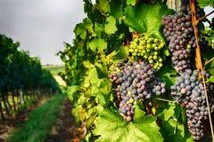 Tsjechische wijngaarden van Moravië royalty-vrije stock afbeeldingen