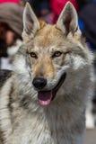Tsjechische Wolfdog stock fotografie