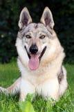 Tsjechoslowaakse wolf-Hond Royalty-vrije Stock Afbeelding