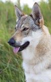 Tsjechoslowaakse Wolfdog. Royalty-vrije Stock Afbeeldingen