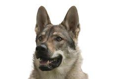 Tsjechoslowaakse Wolfdog Royalty-vrije Stock Afbeeldingen