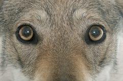 Tsjechoslowaakse wolfshond royalty-vrije stock afbeeldingen