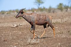 Tssessebe Antelope Royalty Free Stock Images