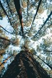 Straight, outstretched forests ,the morning sun penetrated the trees royalty free stock images