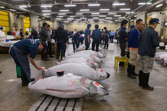Tsukiji Fish Market in Tokyo, Japan. Prospective buyers inspect tuna displayed at Tsukiji Market before the official auction begins. Tsukiji is considered the Stock Images