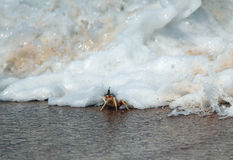 Tsunami. Tiny Crab on the Beach, Just Getting Hit By a Wave, Yala, Sri Lanka Stock Images