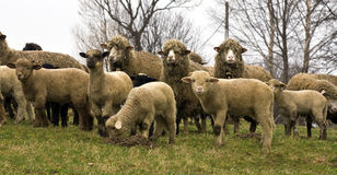 Tsurcana/Zachel ewes and lambs Royalty Free Stock Images